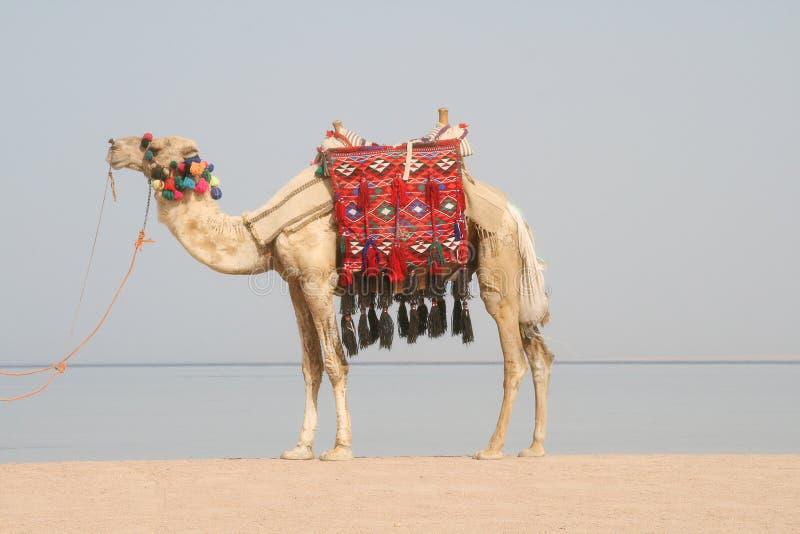 海滩骆驼埃及 免版税库存照片