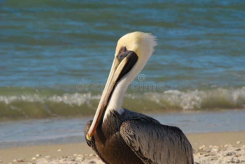 海滩鹈鹕 免版税库存图片
