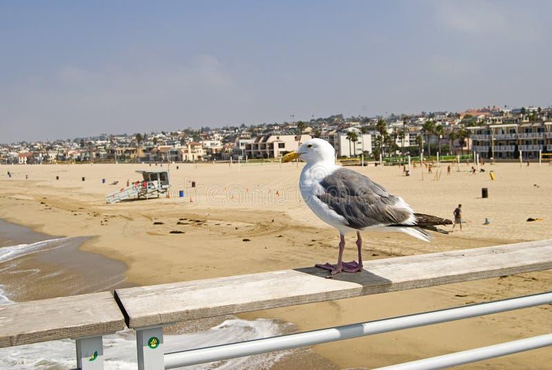 海滩hermosa监督的海鸥 免版税库存图片