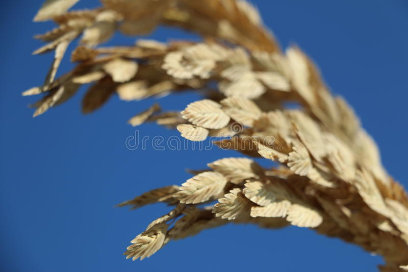 海燕麦植物 库存照片