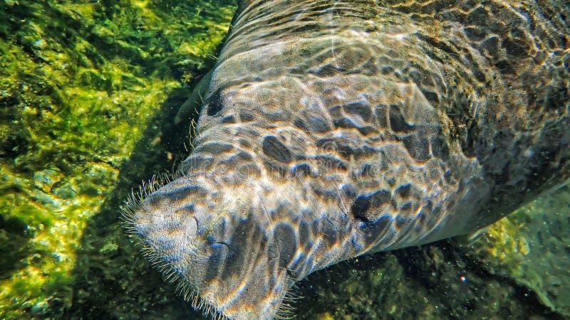 海牛游泳在佛罗里达为冬天 库存照片