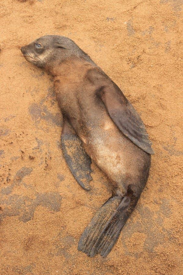 海狗小狗在海滩说谎大西洋 免版税库存图片