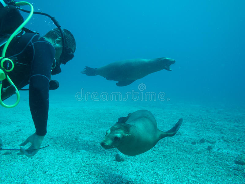 海狮下潜, cortez,下加利福尼亚海  库存图片