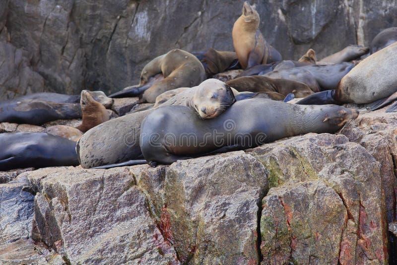 海狮在土地的末端Cabo圣卢卡斯 库存照片