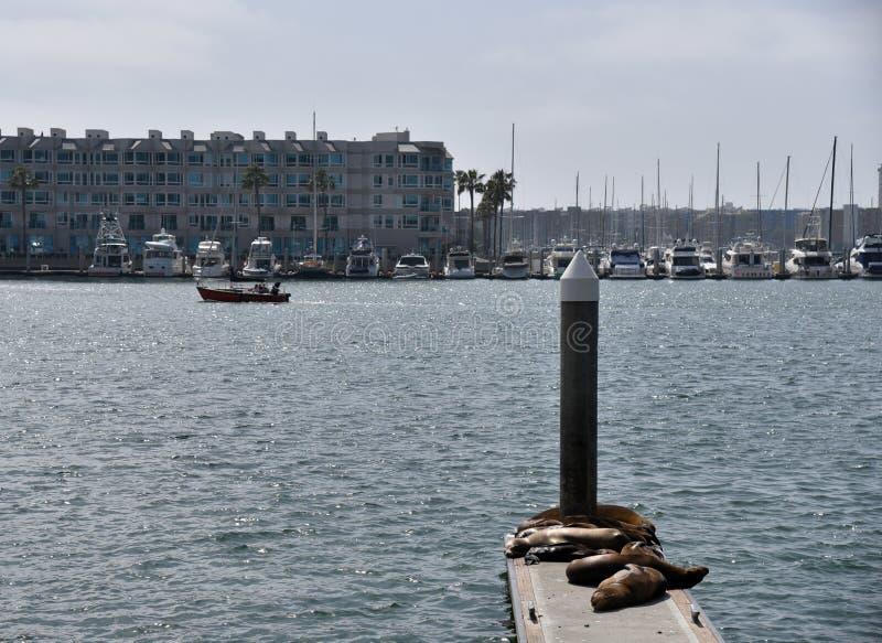 海狮在德拉瑞码头港口 图库摄影