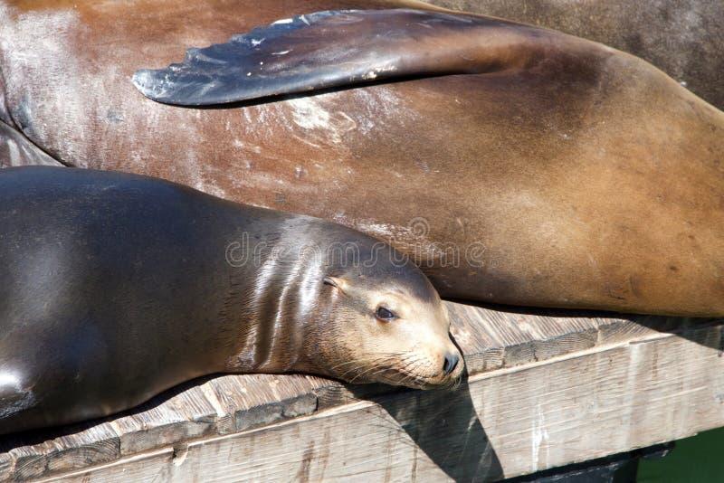 海狮在木平台拖拉了  免版税库存照片