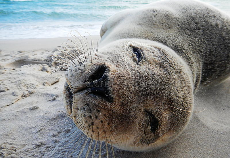 海狮幼崽关闭 免版税图库摄影