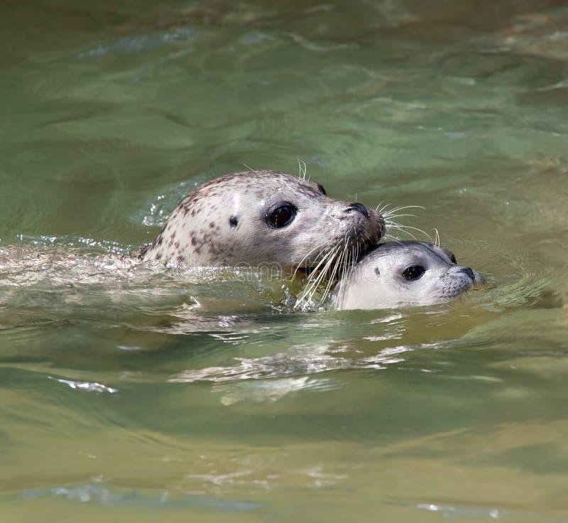 海狮幼崽游泳 库存图片