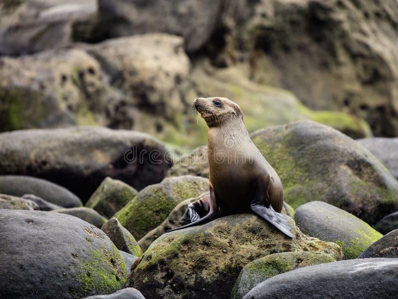 海狮拉霍亚 库存照片