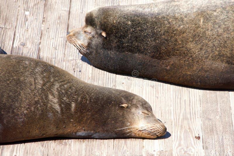 海狮拖拉了面对面在木平台 免版税库存图片