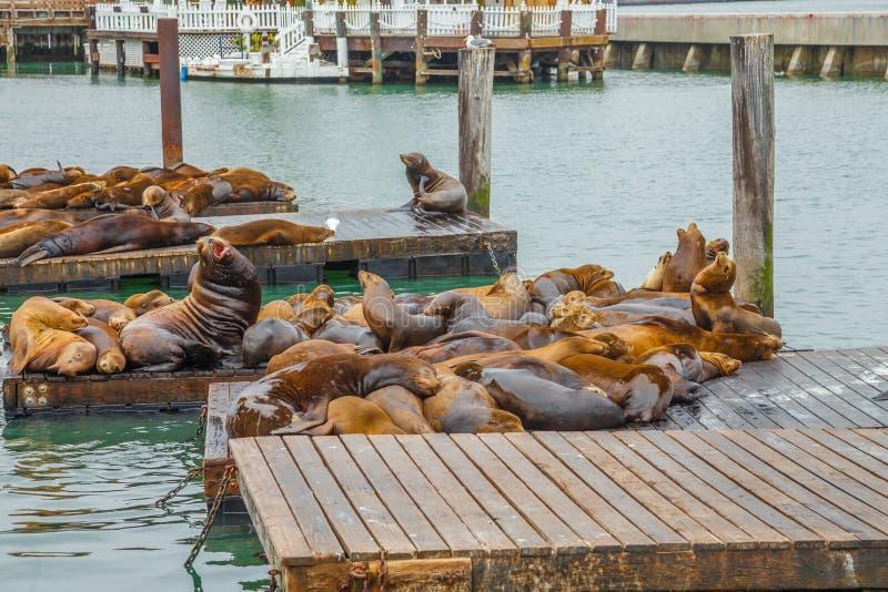 海狮殖民地 免版税库存照片
