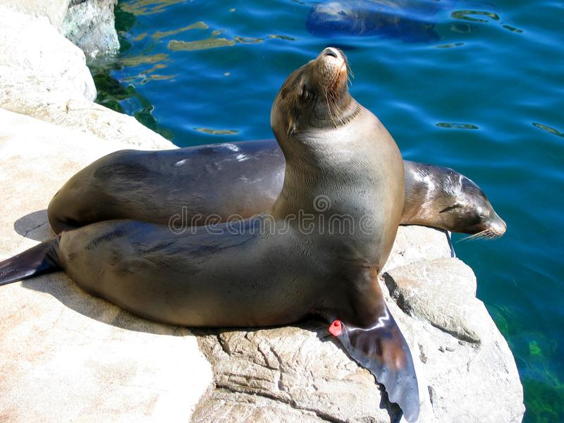 海狮的另一个角度由水池的 太平洋的水族馆,长滩,加利福尼亚,美国 库存图片