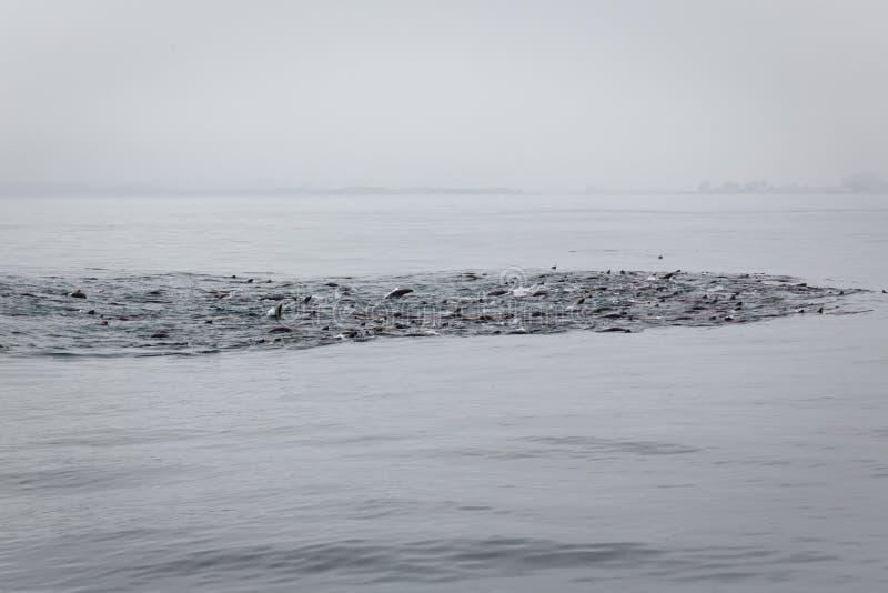 海狮荚哺养的疯狂在风平浪静 库存图片