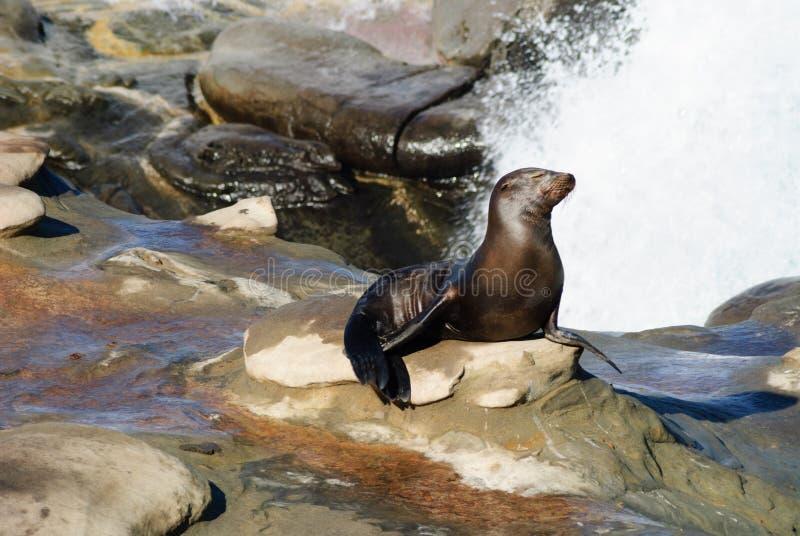 海狮阵雨 库存照片