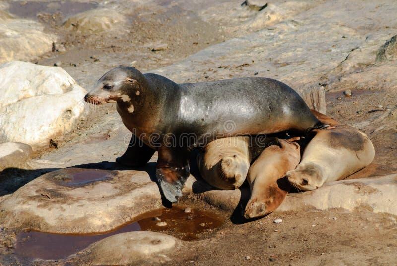 海狮障碍桩 库存照片