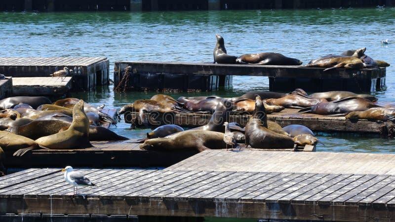 海狮,码头39,旧金山,加利福尼亚 库存图片
