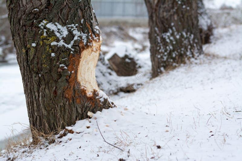 海狸嚼了木头 图库摄影