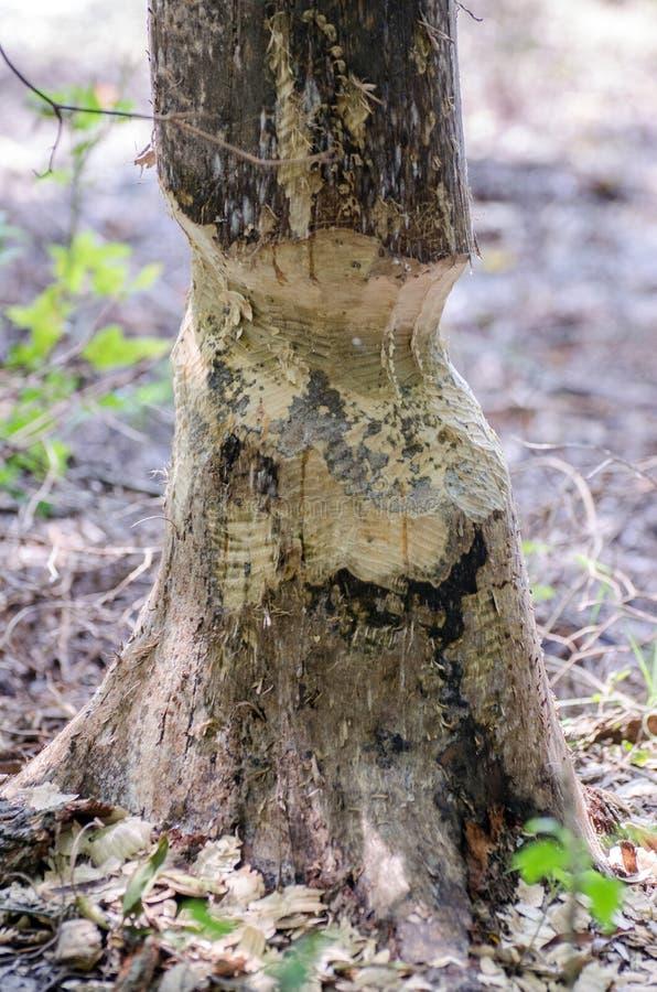 海狸嚼了树 免版税库存图片