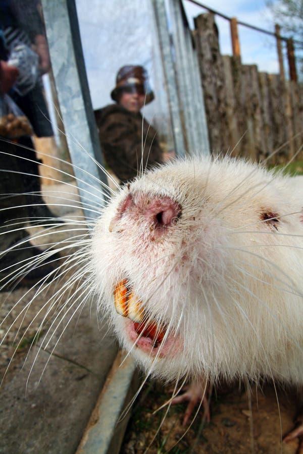 海狸巨水鼠啮齿目动物 免版税库存图片