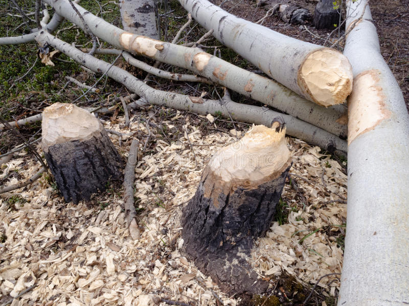 海狸砍了北方森林taiga白杨木树 库存照片