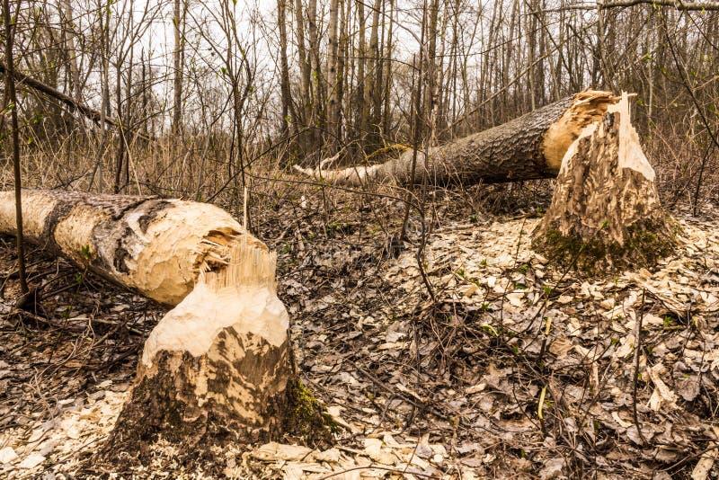 海狸被耕种的树 库存图片