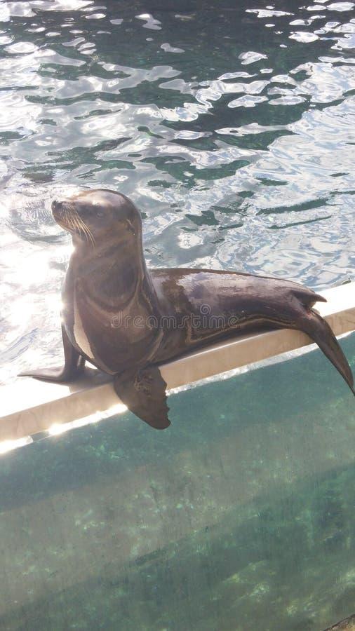 Download 2海狼 库存图片. 图片 包括有 水生, 逗人喜爱, 海洋, 狮子, 密封, 海运 - 72370793