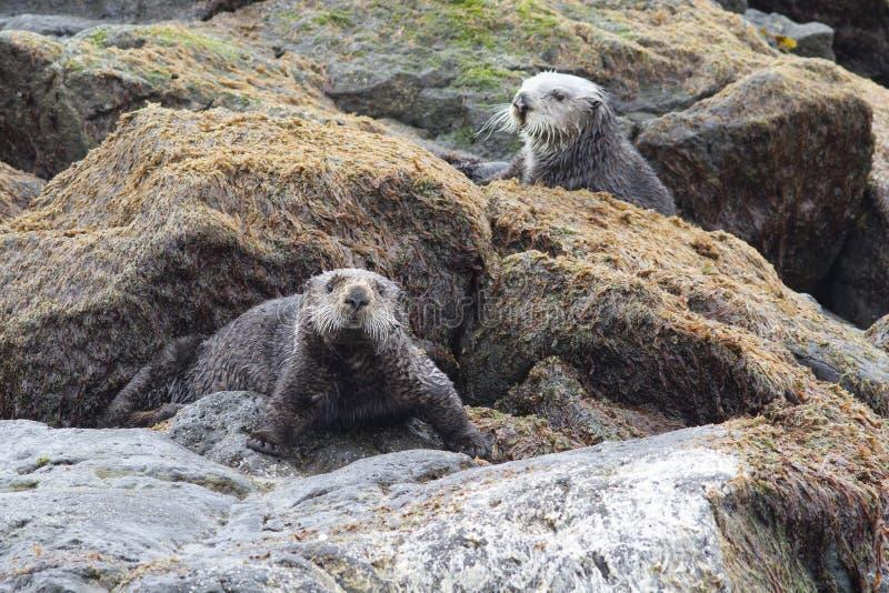 海獭处于低潮中坐岩石在海洋岸 免版税库存图片