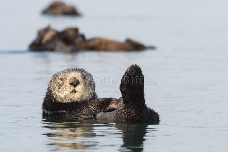 海獭莫罗贝,加利福尼亚三重奏  库存图片