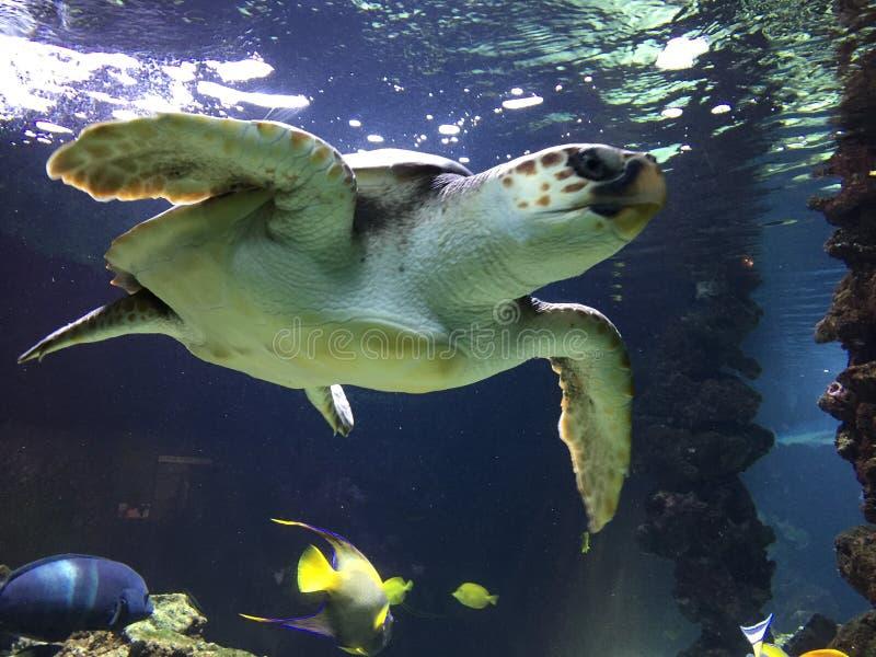 海的乌龟水族馆的 图库摄影