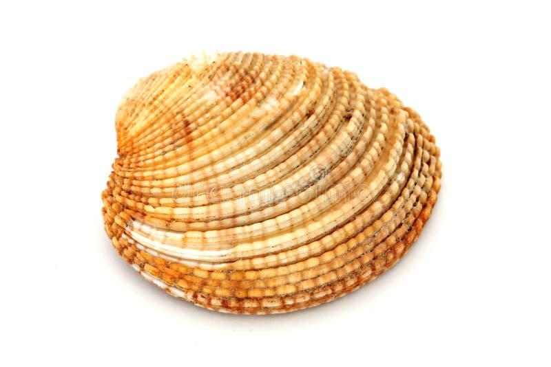 从海的海扇壳,从海洋 库存图片