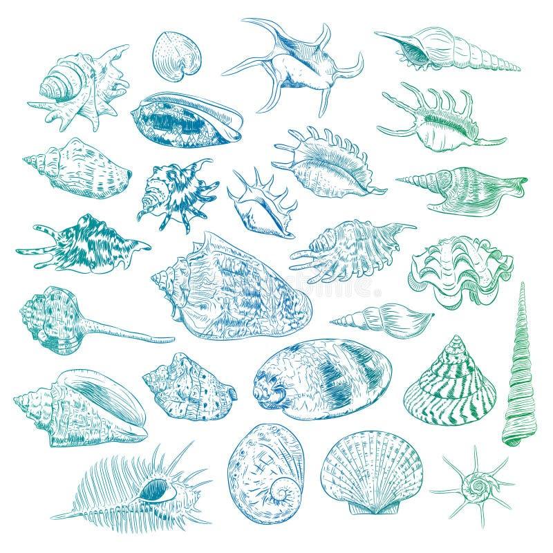 海的独特的博物馆收藏轰击罕见的濒于灭绝的物种,软体动物双壳纲金星梳子骨螺等Corculum cardissa巨蛤squa 向量例证