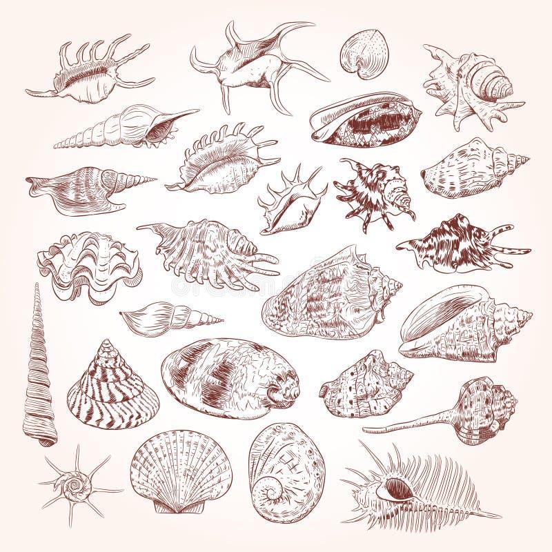 海的独特的博物馆收藏轰击罕见的濒于灭绝的物种,软体动物腹足动物双壳纲金星梳子骨螺等Corculum cardissa Tr 库存例证