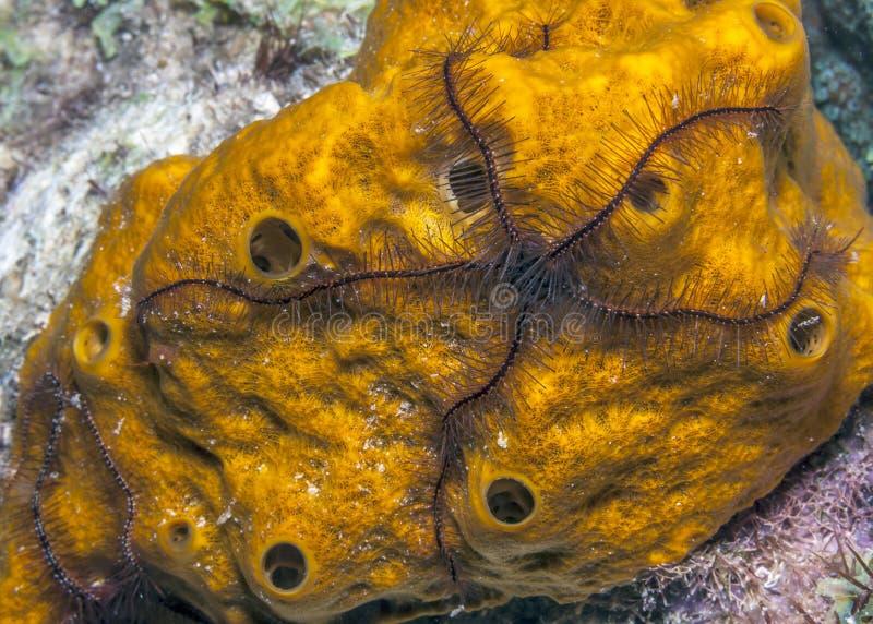 海绵海蛇尾,海军陆战队员,无脊椎 免版税库存照片