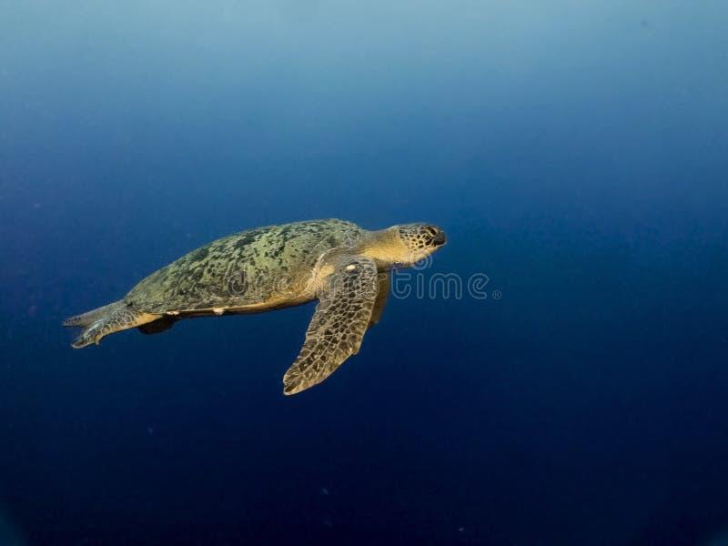 海绿色乌龟游泳在西巴丹岛海岛的蓝色海背景中 库存照片