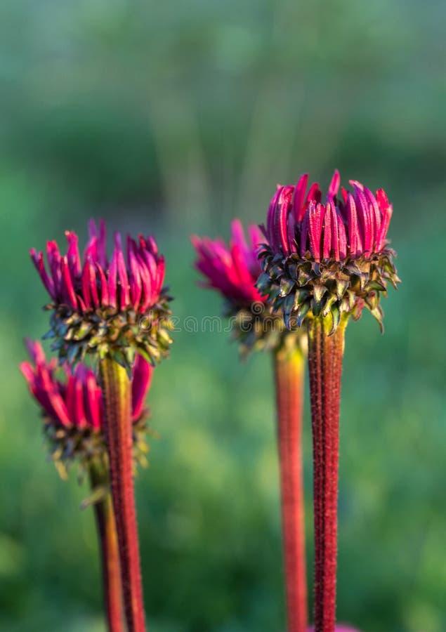 海胆亚目purpurea''生长在花边界的致命吸引力 免版税库存图片