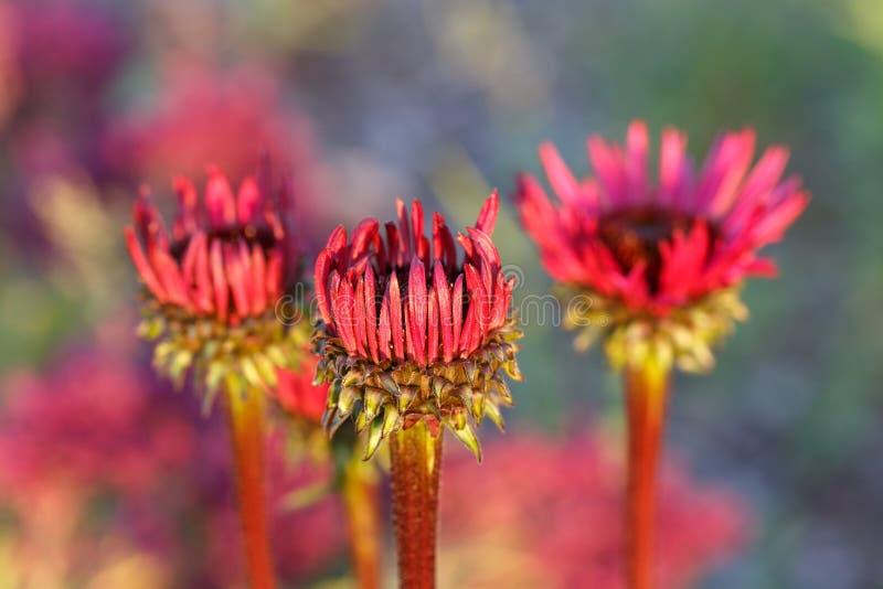 海胆亚目purpurea''生长在花边界的致命吸引力 库存照片