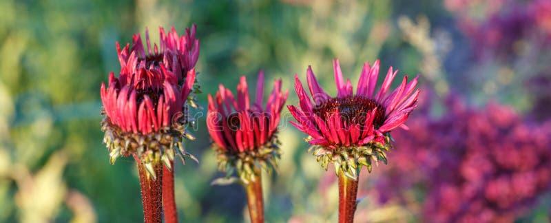 海胆亚目purpurea''生长在花边界的致命吸引力 库存图片