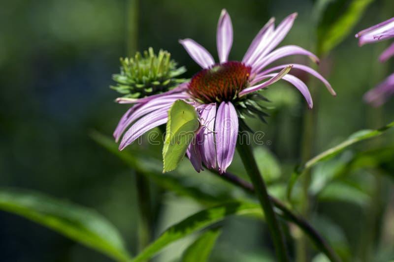 海胆亚目purpurea开花植物,在绽放,Gonepteryx rhamni蝴蝶的东部紫色coneflower 库存图片