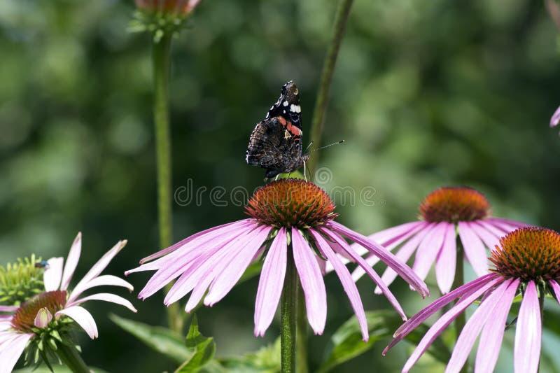 海胆亚目purpurea开花植物,在绽放,Vanessa atalanta蝴蝶的东部紫色coneflower 库存图片