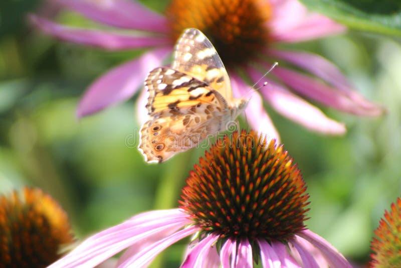 海胆亚目Purpurea或东部紫色coneflower在有紫色花和全部的庭院昆虫喜欢蜂和蝴蝶 库存照片