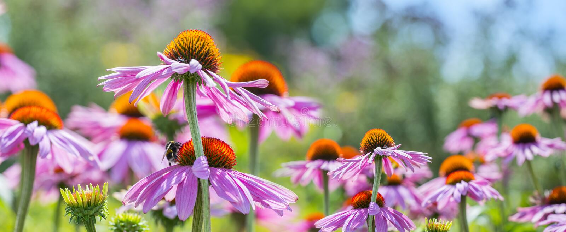 海胆亚目purpurea - coneflower 库存照片
