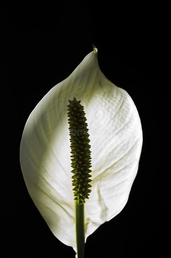 海芋属植物百合 免版税库存图片