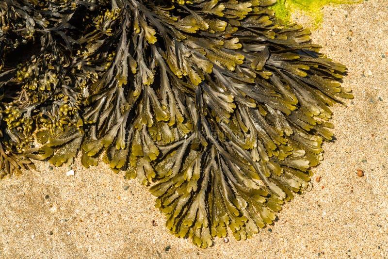 海草墨角藻属植物serratus共同地齿状的失事船只特写镜头  免版税图库摄影