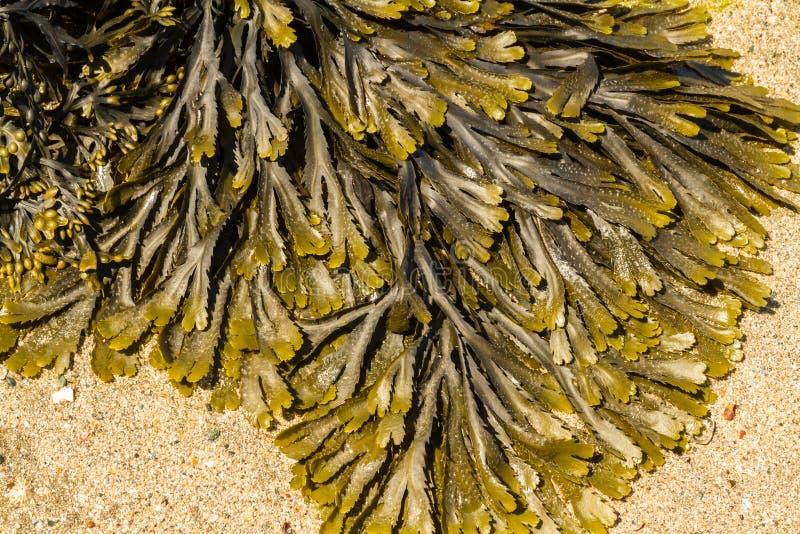 海草墨角藻属植物serratus共同地齿状的失事船只特写镜头  免版税库存照片