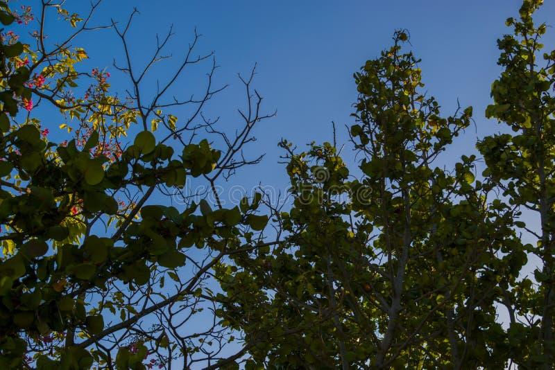 海葡萄树 免版税图库摄影
