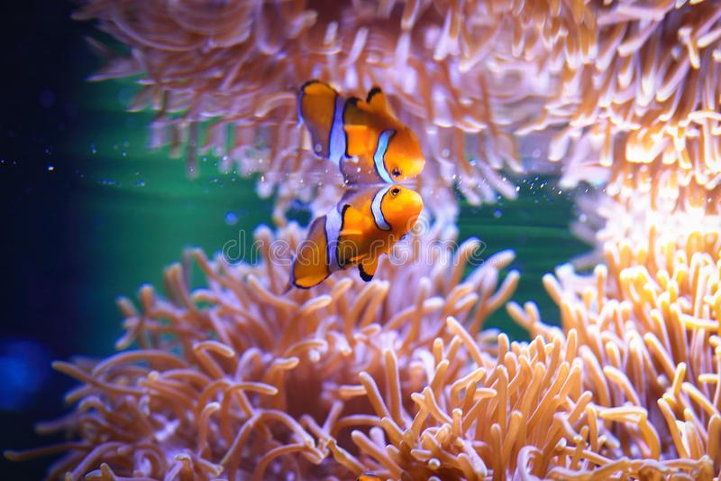 海葵和Anemonefish 库存照片