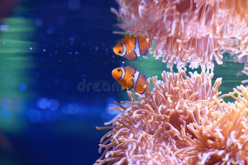 海葵和Anemonefish 库存图片