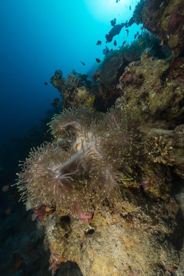 海葵在红海 库存照片