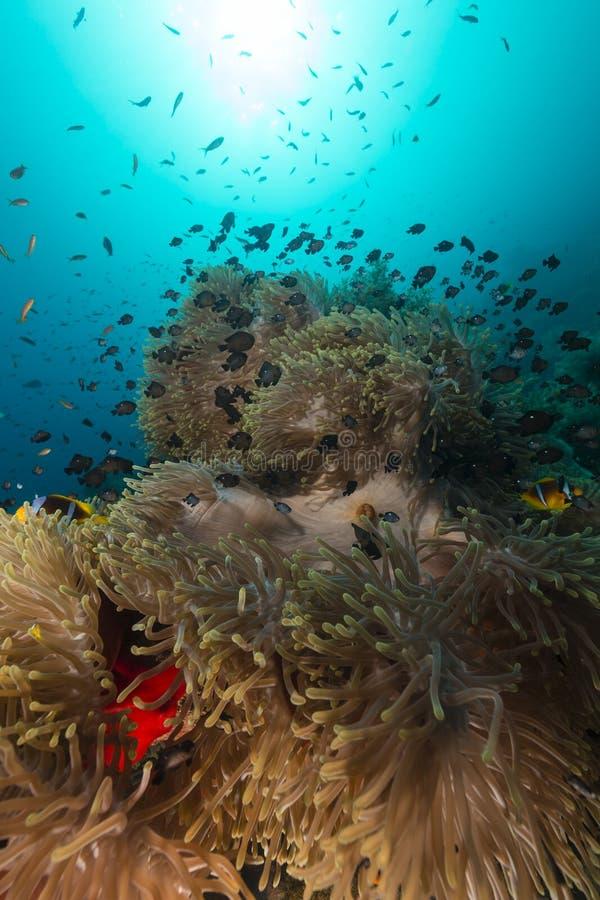 海葵在红海 免版税库存照片