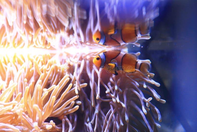 海葵背景的小丑Anemonefish 库存图片